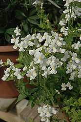 Compact Innocence Nemesia (Nemesia 'Compact Innocence') at Stauffers Of Kissel Hill
