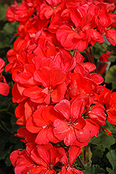 Fantasia® Coral Geranium (Pelargonium 'Fantasia Coral') at Stauffers Of Kissel Hill