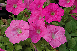 Wave Pink Petunia (Petunia 'Wave Pink') at Stauffers Of Kissel Hill