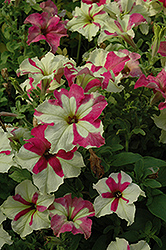 Sophistica Lime Bicolor Petunia (Petunia 'Sophistica Lime Bicolor') at Stauffers Of Kissel Hill