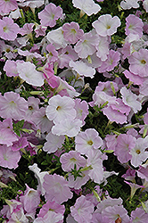 Wave Misty Lilac Petunia (Petunia 'Wave Misty Lilac') at Stauffers Of Kissel Hill
