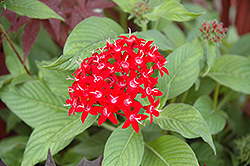 Graffiti® Red Lace Star Flower (Pentas lanceolata 'Graffiti Red Lace') at Stauffers Of Kissel Hill