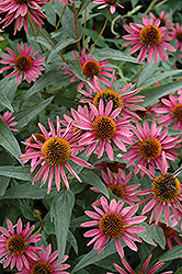 Pica Bella Coneflower (Echinacea purpurea 'Pica Bella') at Stauffers Of Kissel Hill