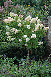 Limelight Hydrangea (tree form) (Hydrangea paniculata 'Limelight (tree form)') at Stauffers Of Kissel Hill