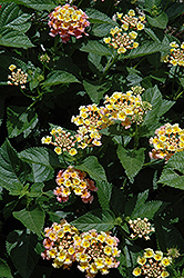 Bandana® Peach Lantana (Lantana camara 'Bandana Peach') at Stauffers Of Kissel Hill