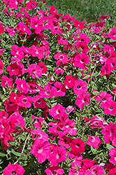 Tidal Wave Hot Pink Petunia (Petunia 'Tidal Wave Hot Pink') at Stauffers Of Kissel Hill