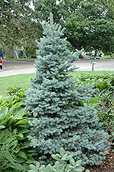 Sester Dwarf Blue Spruce (Picea pungens 'Sester Dwarf') at Stauffers Of Kissel Hill