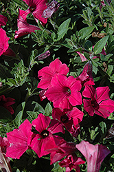 Supertunia Vista® Fuchsia Petunia (Petunia 'Supertunia Vista Fuchsia') at Stauffers Of Kissel Hill