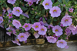 Superbells® Miss Lilac Calibrachoa (Calibrachoa 'Superbells Miss Lilac') at Stauffers Of Kissel Hill