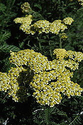 Sunny Seduction Yarrow (Achillea millefolium 'Sunny Seduction') at Stauffers Of Kissel Hill