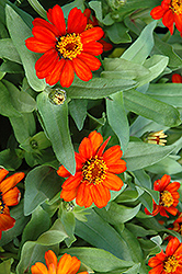 Profusion Fire Zinnia (Zinnia 'Profusion Fire') at Stauffers Of Kissel Hill