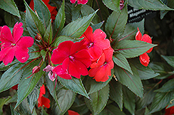 Sun Harmony Magenta New Guinea Impatiens (Impatiens 'Sun Harmony Magenta') at Stauffers Of Kissel Hill