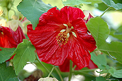 Bella Red Flowering Maple (Abutilon 'Bella Red') at Stauffers Of Kissel Hill