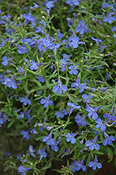 Techno® Heat Electric Blue Lobelia (Lobelia erinus 'Techno Heat Electric Blue') at Stauffers Of Kissel Hill