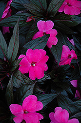 Petticoat Pink Night New Guinea Impatiens (Impatiens 'Petticoat Pink Night') at Stauffers Of Kissel Hill