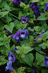 Summer Wave® Blue Torenia (Torenia 'Summer Wave Blue') at Stauffers Of Kissel Hill