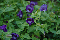 Summer Wave® Large Violet Torenia (Torenia 'Summer Wave Large Violet') at Stauffers Of Kissel Hill