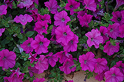 Wave Lavender Petunia (Petunia 'Wave Lavender') at Stauffers Of Kissel Hill