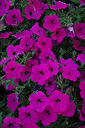 Easy Wave Violet Petunia (Petunia 'Easy Wave Violet') at Stauffers Of Kissel Hill