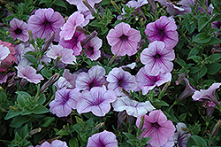 Easy Wave Plum Vein Petunia (Petunia 'Easy Wave Plum Vein') at Stauffers Of Kissel Hill