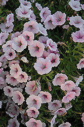 Shock Wave Pink Shades Petunia (Petunia 'Shock Wave Pink Shades') at Stauffers Of Kissel Hill