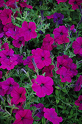 Taffy Grape Petunia (Petunia 'Taffy Grape') at Stauffers Of Kissel Hill