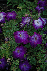 Sophistica Blue Morn Petunia (Petunia 'Sophistica Blue Morn') at Stauffers Of Kissel Hill