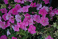 Mambo Sweet Pink Petunia (Petunia 'Mambo Sweet Pink') at Stauffers Of Kissel Hill