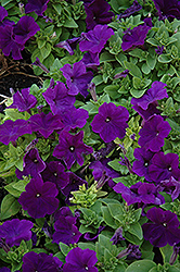 Pretty Flora Midnight Petunia (Petunia 'Pretty Flora Midnight') at Stauffers Of Kissel Hill