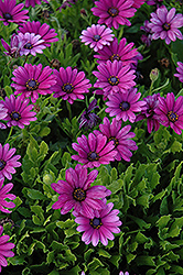 Akila® Purple African Daisy (Osteospermum ecklonis 'Akila Purple') at Stauffers Of Kissel Hill
