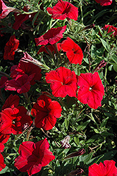 Pretty Flora Red Petunia (Petunia 'Pretty Flora Red') at Stauffers Of Kissel Hill