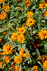 Profusion Double Golden Zinnia (Zinnia 'Profusion Double Golden') at Stauffers Of Kissel Hill