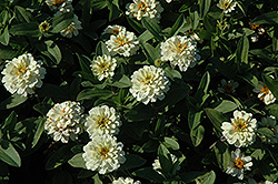 Profusion Double White Zinnia (Zinnia 'Profusion Double White') at Stauffers Of Kissel Hill