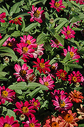 Profusion Cherry Zinnia (Zinnia 'Profusion Cherry') at Stauffers Of Kissel Hill