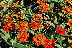 Profusion Orange Zinnia (Zinnia 'Profusion Orange') at Stauffers Of Kissel Hill