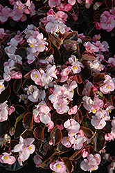 Yin Pink Begonia (Begonia 'Yin Pink') at Stauffers Of Kissel Hill