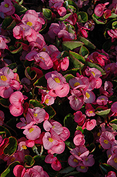 Yang Pink Begonia (Begonia 'Yang Pink') at Stauffers Of Kissel Hill