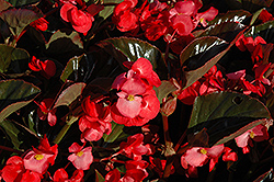 Whopper® Rose Bronze Leaf Begonia (Begonia 'Whopper Rose Bronze Leaf') at Stauffers Of Kissel Hill