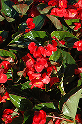 Whopper® Red Green Leaf Begonia (Begonia 'Whopper Red Green Leaf') at Stauffers Of Kissel Hill