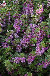 Serena Blue Angelonia (Angelonia angustifolia 'Serena Blue') at Stauffers Of Kissel Hill