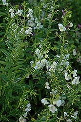 AngelMist® White Angelonia (Angelonia angustifolia 'AngelMist White') at Stauffers Of Kissel Hill