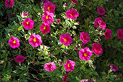 Superbells® Cherry Red Calibrachoa (Calibrachoa 'Superbells Cherry Red') at Stauffers Of Kissel Hill