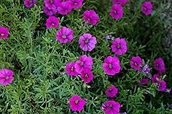 Superbells® Trailing Rose Calibrachoa (Calibrachoa 'Superbells Trailing Rose') at Stauffers Of Kissel Hill