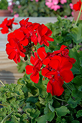 Calliope® Scarlet Fire Geranium (Pelargonium 'Calliope Scarlet Fire') at Stauffers Of Kissel Hill