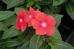 Mediterranean XP Red Vinca (Catharanthus roseus 'Mediterranean XP Red') at Stauffers Of Kissel Hill