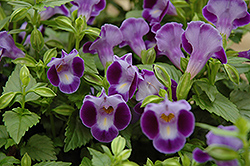 Purple Moon Torenia (Torenia 'Purple Moon') at Stauffers Of Kissel Hill