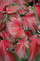 Red Frill Caladium (Caladium 'Red Frill') at Stauffers Of Kissel Hill