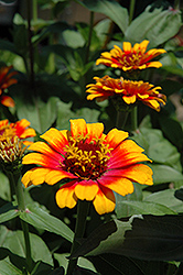 Zowie Yellow Flame Zinnia (Zinnia 'Zowie Yellow Flame') at Stauffers Of Kissel Hill