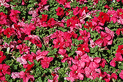 EZ Rider Deep Salmon Petunia (Petunia 'EZ Rider Deep Salmon') at Stauffers Of Kissel Hill