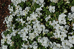 EZ Rider White Petunia (Petunia 'EZ Rider White') at Stauffers Of Kissel Hill